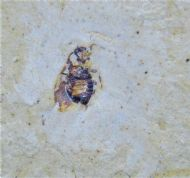Dwarf cockroach from Cretaceous of Brazil